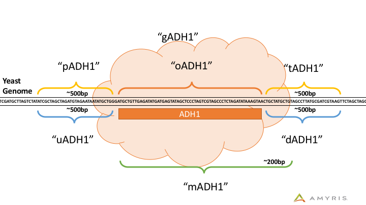 Visualization of the GSL operators' positions around the ADH1 gene annotation.