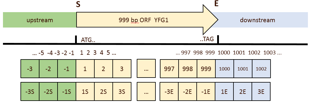 Schematic of GSL's DNA coordinate system. In this hypothetical ORF, the 'A' of the ATG start codon is at index 1 while the 'G' of the TAG stop codon is at index 999. Appending an `E` to the index references a position relative to the End of the gene so the final 'G' of TAG is also at index `-1E`.
