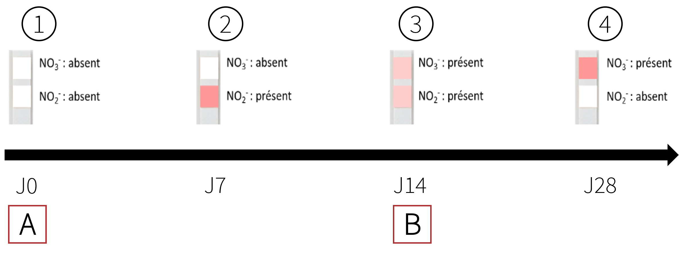 Evolution du cyclage sur la bandelette entre le démarrage et la fin du processus.  A = ajout des bactéries nitrifiantes et 1er ajout de sulfate d'ammonium.  B = 2e ajout de sulfate d'ammonium.