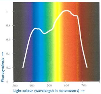 La courbe de McCree montre que toutes les couleurs du spectre de la lumière blanche ont un rôle sur la photosynthèse et les réactions des plantes. (Source: Plant Physiology in Greenhouses)