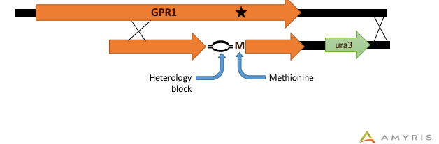 Visual representation of the donor DNA to implement a Proline to Methionine allele swap in the GPR1 gene. The donor DNA contains a heterology block preceding the Methionine to facilitate accurate swapping through homologous recombination.