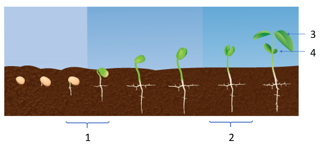 1 - Graines germées 2 - Jeunes pousses 3 - Premières vraies feuilles 4 - Cotylédon
