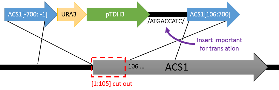 Schematic showing a custom DNA insertion to maintain accurate translation of the ACS1 ORF after it's been truncated