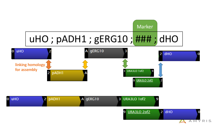 Design computed by GSL. Each element is amplified separately but with linking homology regions allowing them to be stitched together. The marker sequence is split into 2 parts with a longer overlap, which can then recombine. This helps pull together each half of the construct and confers selectable resistance to strains with a correctly assembled construct.