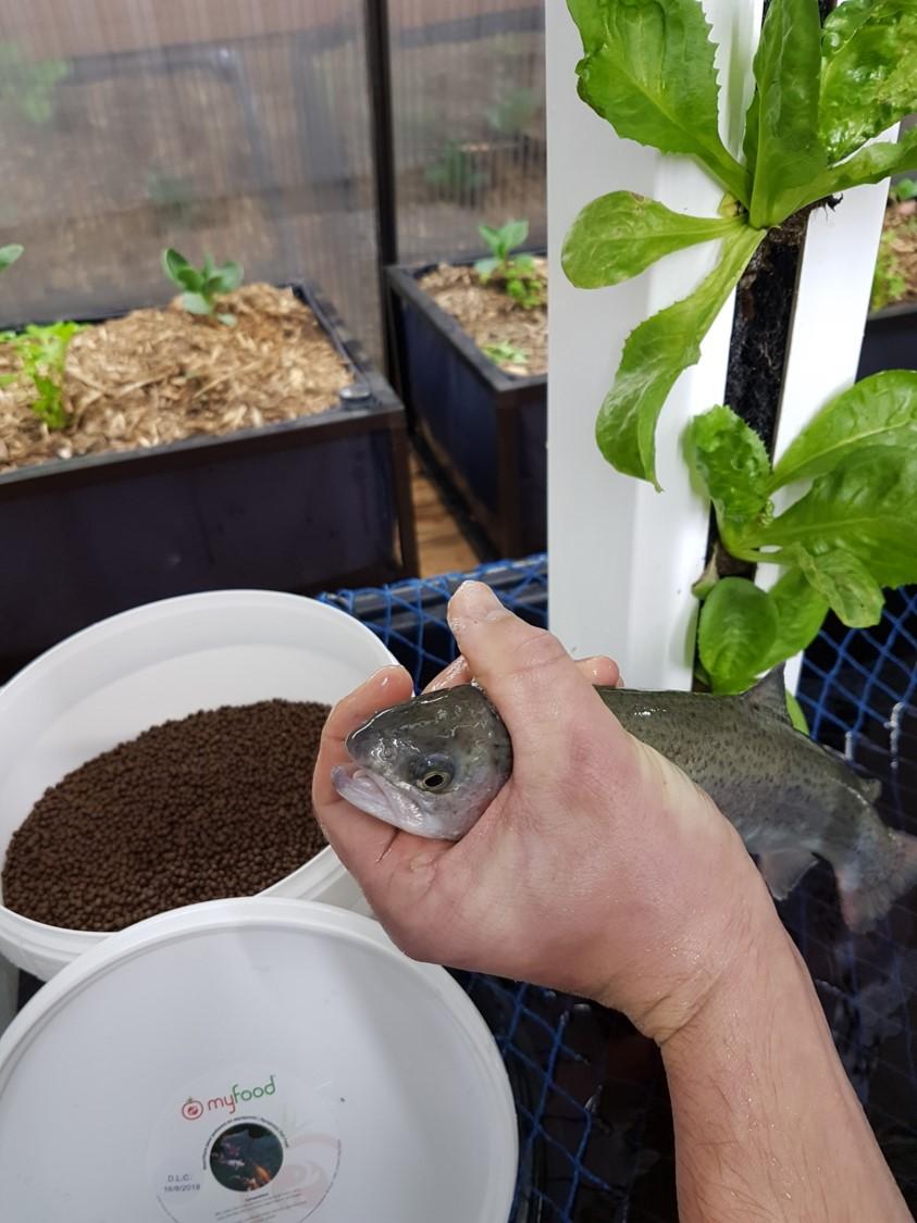 Les granulés semi-flottants sont adaptés au comportement alimentaire des truites fario qui prélèvent la nourriture à vue entre deux eaux et à la surface.